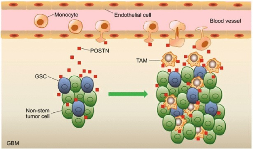 Glioma stem cells (GSCs) secrete periostin (POSTN) to recruit and educate macrophages in glioblastoma (GBM). Tumor-associated macrophages (TAMs) are enriched in the POSTN-abundant perivascular niche in GBMs. GSC-secreted POSTN acts as a chemoattractant to recruit and maintain monocyte-derived M2 TAMs from the peripheral blood to promote GBM growth