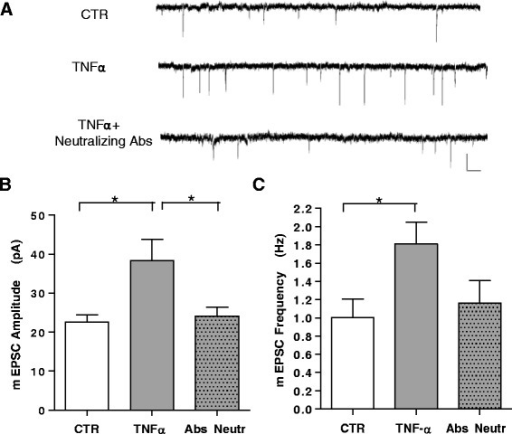 TNFα increases mEPSC frequency and amplitude in cortical neurons. a Examples of voltage-clamp recordings of mEPSCs from cultured cortical neurons in control conditions, upon treatment with TNFα (100 ng/ml 30 min) or in the presence of TNFα and neutralizing Abs (0.5 μg/ml; R&D Systems) (calibration bars: 20 pA, 200 ms). b, c Group data of average mEPSC amplitude and frequency in untreated (n = 15), TNFα-treated (n = 13), and TNFα plus neutralizing Ab-treated (n = 10) cells. A significant increase in average mEPSC amplitude and frequency is produced by TNFα, completely blocked by neutralizing anti -TNFα Abs (P < 0.05). All data are expressed as mean ± standard error of the mean. Statistical test: one-way analysis of variance, Dunn's multiple comparisons test. Ab antibody, mEPSC miniature excitatory post-synaptic current, TNFα tumor necrosis factor alpha