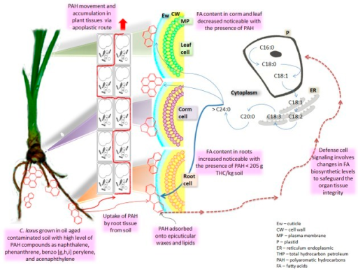Schematic relationship between PAH and changes in the fatty acid profile of Cyperus in the phytoremediation systems.Schematic proposal for the changes observed in the fatty acid profile of organs from Cyperus laxus cultivated in the phytoremediation systems of soils from the oil aged contaminated sites. The main type of hydrocarbons found in the aged oil spill impacted sites was PAH25. Some of these PAH could be moved through the plant organs by the apoplastic route, promoting a general increase in the content of long chain fatty acids (C18 and C20-C24), mainly in the root; where may negatively affect the translocation process of the micronutrients from the root to the corm and the leaf. In leaf and root tissues the hydrocarbons' presence did not significantly change the partition of the carbon flux toward any of the fatty acid biosynthetic pathways, keeping both prokaryotic (plastidic) and eukaryotic (ER) fatty acid pathways working in synchrony to maintain a balanced growth. Instead, the major cumulative content of long chain and the C18 chain fatty acids was the result of the prevalence of higher and similar amounts of C18:0, C18:1, C18:2, and C18:3N3, in conjunction with low or absent levels of C16:1, C16:2, and C16:3. This suggest that this Cyperus species might direct the intracellular fatty acid metabolic flux to reinforce cellular structures such as plasma membrane (MP), cutine, suberine, and epicuticular wax (Ew), to protect the integrity of the whole plant. Such changes in the fatty acid metabolic flux should involve an important biochemical and physiological adjustment of the plant as response to the hydrocarbons presence. These adjustments may be commonly auto-regulated by metabolic-flexible nodes submerged in the metabolic map of the plant.