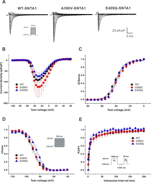 Electrophysiological data of NaV1.5 in HEK293T cells coexpressing PMCA4b, nNOS, and either WT or SNTA1 mutants.(A) Representative traces of inward Na+ current for the 3 groups tested. (B) I-V curve. (C) Activation (G/Gmax). (D) Inactivation (I/Imax). (E) Recovery (P2/P1).