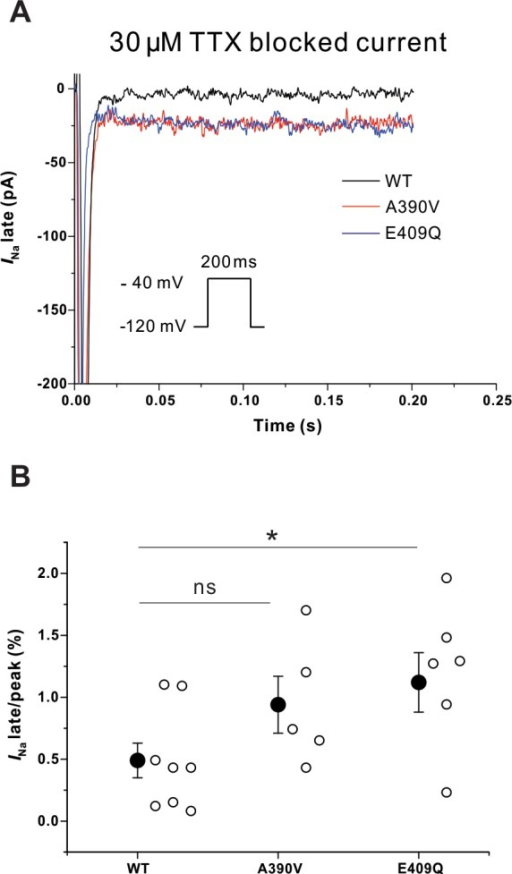 Late Na+ current in adult rat cardiomyocyte infected with adenoviruses expressing either the WT or one of the two SNTA1 mutants.(A) Representative late Na+ currents in with WT and the SNTA1 variants (Fig 5A). (B) E409Q-SNTA1 significantly increased INa-L compared to that of WT-SNTA1. * P<0.05 versus WT-SNTA1. INa indicates sodium current; TTX, tetrodotoxin. Mean and standard error of mean (SEM) are shown in the graph.