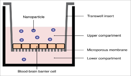 Transwell system applied to measure the transport of nanoparticles across in vitro blood-brain barriers. A porous membrane, upon which the in vitro blood-brain barrier model is grown, separates two compartments. The nanoparticles are added to the upper compartment, and the number of nanoparticles that passes through to the lower compartment is measured.