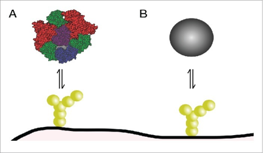 Role of biomolecular corona in nanoparticle interactions with the blood-brain barrier. (A) Corona-covered nanoparticle interacting with cells of the barrier vs. (B) bare nanoparticle. Only the former situation is expected to occur in vivo.