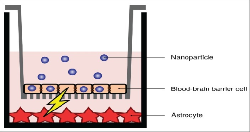 Indirect effects due to nanoparticle uptake in an in vitro blood-brain barrier. Despite the nanoparticles not being transported across the barrier (at least not to a significant degree), signaling takes place between the blood-brain barrier cells and astrocytic cells grown below them. Image adapted from ref. 86.