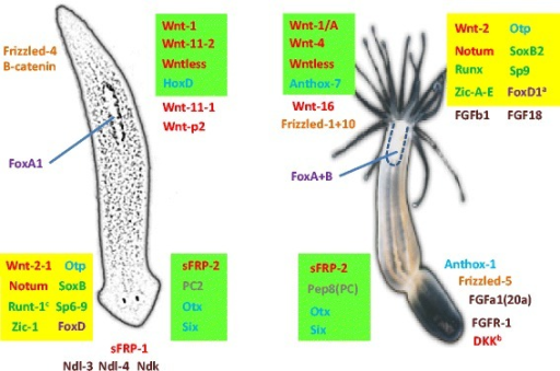 "Comparison of ""head"" vs. ""tail"" gene expression in the regeneration of Nematostella and Planaria. A cartoon of the two animals is presented with the oral (head) part of Nematostella aligned with the posterior (tail) part of Planaria according to the comparison in which these ends express an assembly of Wnts and other universal bilaterian posterior markers, while the aboral part resembles the Planarian anterior (head) part in the expression of universal anterior markers such as Six3/6 and Wnt inhibitors like sFRPs [51]. Some of the markers specific for the main axis ends are depicted with Wnts and Wnt pathway genes in red and orange, FGF pathway members in brown, homeobox factors in light blue, forkhead (Fox) factors in purple, and other TFs in green. An anterior Planaria regeneration marker and protease, proprotein convertase 2 (PC2) and its ortholog in Nematostella, the late aboral Pep8 gene are marked in grey. Highlighted in light green are bona fide orthologs that are expressed as expected according to this comparison, while yellow marks polarized genes that are expressed in an 'inverted' position, which can indicate evolutionary change in the regeneration program. aThe FoxD1 gene is induced at the oral regenerating region in Nematostella however it is aboral in embryonic/larval development and becomes orally expressed upon metamorphosis and tentacle budding [95]. bDickkopf (DKK) is expressed higher orally at 8 h after the induction of regeneration and higher in the aboral part later than 24 h. cRunt-1 is induced in anterior sites upon eye and neural brain regeneration in Planaria but is also expressed in posterior wound sites [35, 37] and https://radiant.wi.mit.edu/app/"