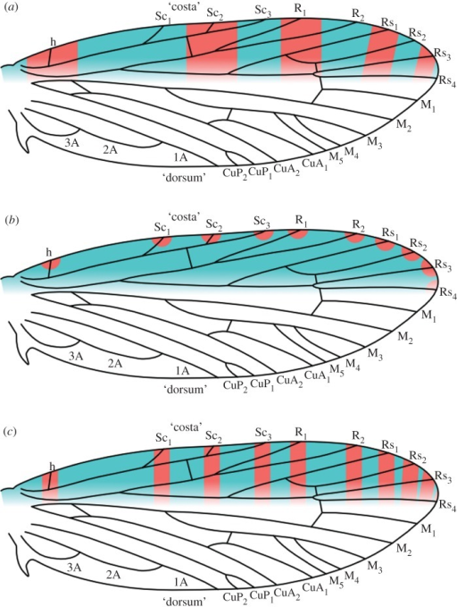 The two versions of the 'wing-margin' model, plotted onto the most recent reconstruction of ancestral wing venation for Lepidoptera [14]. The boundary between the costa and dorsum is ambiguous here; the Rs4 vein is treated as belonging to the costa because of the developmental constraints that it exerts in the Micropterigidae [10,11]. Either series of pattern elements—those illustrated in blue, or those illustrated in red—could develop a dark colour. The bands are not shown to reach the dorsum here, despite the fact that wing pattern does extend to the dorsum, because the ancestral relationship between the costa and dorsum is not yet known for banded wing patterns. (a) The original version of the model, called the 'alternating wing-margin' model here. (b) A hypothesized intermediate stage, based on observations of Sabatinca demissa [11]. (c) The 'uniform wing-margin' model.