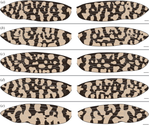 (a–e) Wing pattern and wing venation of female Moerarchis clathrata. All scale bars represent 1 mm.