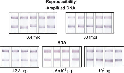 Study of the reproducibility of the dipstick test using amplification products from the BCR-ABL translocation (two PCR pools) and total RNA from K562 cells.