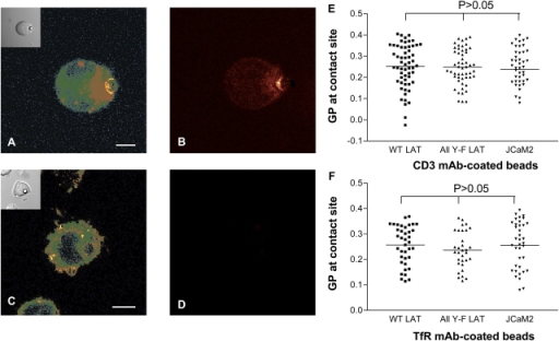 Effect of actin depolymerization on membrane structure at the TCR activation site. Laurdan-labeled JCaM2 cells expressing WT LAT, mutant All Y-F LAT, or LAT- cells (JCaM2) were conjugated with α-CD3–coated (A–E) or TfR-coated (F) beads and were incubated for 7 min at 37°C (A and B) followed by the addition of 12.5 μM latrunculin B and incubation for a further 3 min at 37°C (C–E). (A and C) GP images were obtained and pseudocolored as described in Fig. 1. Insets show DIC images. (B and D) F-actin staining with phalloidin–Alexia 637. Note that no F-actin was detected in latrunculin B–treated cells (D). Bars, 5 μm. (E and F) GP values at contact sites between α-CD3–coated (E) or TfR-coated (F) beads and cells after latrunculin B treatment. Means (indicated by horizontal lines) and SDs are given in Table I. For all comparisons within E or F, P > 0.05. For all cell types, no statistically significant difference (P > 0.05) was found between means of α-CD3– and TfR-coated beads.