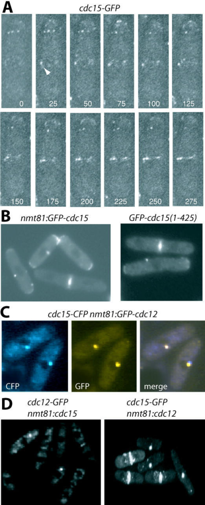 Cdc15p colocalizes with the formin Cdc12p in a medial spot. (A) Time-lapse images of a cdc15-GFP cell (KGY3019). The arrowhead indicates the initial localization of a Cdc15p–GFP spot to the medial region with subsequent incorporation of other Cdc15p patches into this structure. (B) GFP–Cdc15p, expressed under control of nmt81 promoter, and GFP–Cdc15p(1–425), under control of the cdc15+ promoter, were visualized in live wild-type cells. (C) GFP–Cdc12p was expressed under control of the nmt81 promoter and visualized in live cdc15-CFP cells (KGY3352). (D) Cdc15p was produced under control of the nmt81 promoter in cdc12p-GFP cells (KGY3066), and live cells were imaged (left). Cdc12p was produced under control of the nmt81 promoter in cdc15-GFP cells (KGY3019), and live cells were imaged (right).