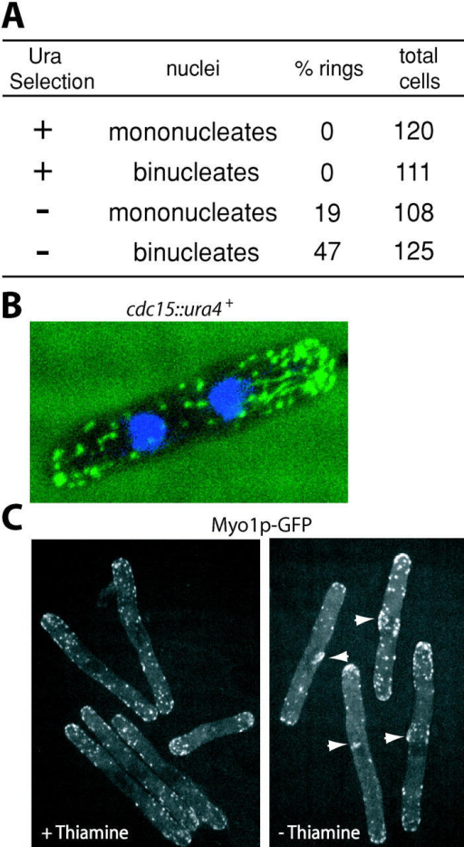Cdc15p is required for formation of the medial actin ring. (A) Spores from the heterozygous cdc15+/cdc15::ura4+ diploid were released into selective media (−uracil), indicated by +, or nonselective media (YE), indicated by −, and after 16 h were fixed and stained with AlexaFluor 488–phalloidin. The presence of a CAR in germinated cells was determined in binucleates and mononucleates. (B) A representative image of a binucleate cdc15::ura4 cell, fixed and stained with AlexaFluor 488–phalloidin to visualize actin (green) and DAPI to visualize DNA (blue). (C) Myo1p–GFP localization in G2-arrested cdc25-22 cells either expressing (induced) or not expressing (uninduced) nmt1cdc15.