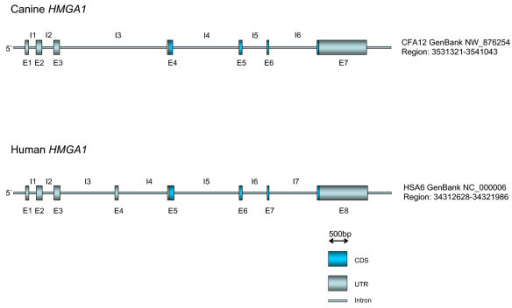 Genomic structure of the canine HMGA1 gene. Detailed structure of the genomic organisation of the canine HMGA1 gene.