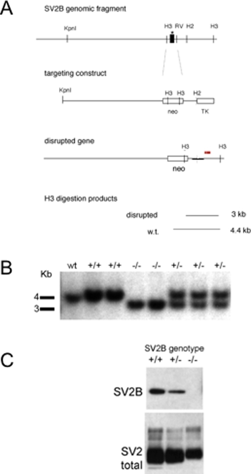 Generation of SV2B knockouts.A) Targeting construct. A region of the SV2B gene containing the first exon (depicted as a black box) was cloned from a mouse 129/SVJ genomic library. The genomic fragment was used to generate the indicated targeting vector in which exon 1 was replaced with a gene encoding neomycin resistance. A thymidine kinase gene, which makes cells sensitive to gancyclovir was placed at the end of the targeting construct to allow for negative selection of non-homologous recombination events. The mutant gene produces a smaller HindIII (H3) restriction fragment as detected in Southern analyses with a probe indicated by the band above the disrupted gene. Notation key: H2 = HindII restriction site, H3 = HindIII restriction site, RV = EcoRV restriction site, neo = DNA encoding neomycin resistance, TK = DNA encoding thymidine kinase. B) Southern blot of Hind III-digested genomic DNA from littermates resulting from the crossing of heterozygous breeders demonstrating the production of mice homozygous for the SV2B gene disruption. C) SV2 expression in brain of SV2B mutants. 25 ug of a Triton X-100 extract of whole brain was probed with antibodies to the indicated protein. Antibody binding was visualized with HRP-conjugated secondary antibody reacted with enhanced chemiluminescence (ECL) reagent and exposed to film. Disruption of the SV2B gene results in loss of full length SV2B and a decrease in total SV2. Data are representative of experiments from two series of mice.