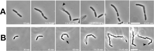 Patterning of daughter bacteria in liquid without underneath substratum.Bacterial divisions in LB medium were followed similar to that described in Figure 1. (A) Parental strain BW25113; (B) flagellum- strain JW1923. In (A), arrowhead indicates a cell separating and disappearing from the bacterial string in the subsequent image. In (B), the arrow indicates bacteria that appeared as a string of four cells while the arrowhead marks a string of 16 offspring bacteria. Note: the balloon-type bacteria were not exactly on the focal plane of the microscope. No bacteria were observed to have a parallel or 4-cell array arrangement in all fields. Scale bar: 5 µm.