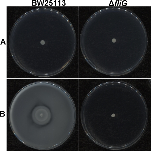 Bacterial motility detected on agar plates.Appropriately diluted bacteria were grown overnight at 37°C on LB plates containing 0.6% or 0.27% agar. No differences of bacterial colonies are seen in panel (A) (0.6% agar) whereas panel B (0.27% agar) shows that the parental BW25113 gave strong swarming activity that is not seen with the ΔfliG mutant.