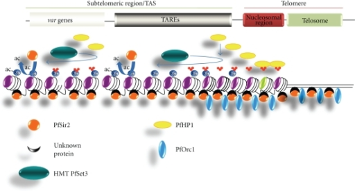 Hypothetical model for heterochromatin assembly at P. falciparum chromosome ends. This is a general view of the known chromatin components at P. falciparum subtelomeres. The spreading of heterochromatin along the different TAREs into adjacent coding regions probably involves PfHP1, PfSir2 and PfKMT1 in cooperation. The role of PfOrc1 in this process remains unknown.