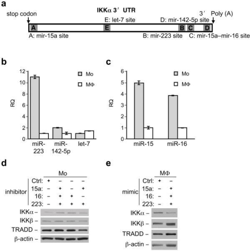 MicroRNAs target the IKKα mRNA(a) Distribution of predicted target sites for five relevant microRNAs in 3″ UTR of IKKα. (b, c) Real time PCR analysis of different microRNAs in monocytes (Mo) vs. macrophages (MΦ) as indicated. Error bars, +/− standard deviation from the mean. Data representative of at least 5 independent experiments (d) Monocytes lysates (Mo) from cells transfected with miRNA inhibitors containing control oligo, pooled inhibitors for microRNAs 15a, 16 and 223 or the combinations thereof as indicated (48 hours after transfection) immunoblotted with IKKα and IKKβ antibodies. (e) Cell extracts from macrophages (MΦ) transfected with microRNAs mimic control oligo or pooled mimics immunoblotted with anti-IKKα and anti-IKKβ antibodies. TRADD and β-actin blots indicate loading of lanes (d, e)