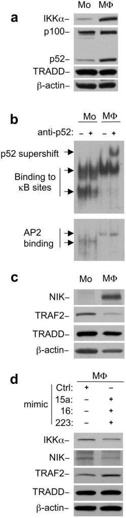 p100 is constitutively processed to p52 in macrophages(a) Immunoblot analysis of IKKα and p100-p52 in monocytes (Mo) vs. macrophages (MΦ). (b) Electrophoretic Mobility Shift Assay (EMSA) from nuclear lysates of monocytes (Mo) and macrophages (MΦ) showing binding to κB or AP2 oligos. p52 antibody added where indicated. (c) Western blots from monocytes (Mo) and macrophages (MΦ) lysates analyzed by immunoblot with anti-NIK and anti-TRAF2 antibodies. (d) Macrophages (MΦ) were transfected with miRNA mimic control oligo and pooled miRNAs mimics, (miR-15a, miR16 and miR-223). Forty-eight hours after transfection, cell lyates were analyzed by immunoblot with indicated antibodies. TRADD and β-actin blots indicate loading of lanes, (a, c, d).