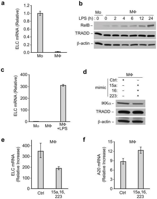 IKKα-targeting miRNAs affects noncanonical and canonical NF-κ.B gene expression(a) Real time PCR analysis of ELC mRNA in monocytes and macrophages, normalized to GAPDH, data representative of at least three independent experiments. Error bars, +/−standard deviation of the mean. (b) Anti-RelB immunoblots of lysates from macrophages (MΦ) treated with LPS for indicated time course (in hours). (c). Real time PCR analysis of ELC mRNA in monocytes, macrophages, or LPS-treated macrophages, normalized to GAPDH. Data representative of at least three independent experiments. Error bars, +/−standard deviation of the mean. (d)(e)(f), Macrophages (MΦ) were transfected with miRNA mimics or control mimic and 24 hours after transfection, cells were or were not challenged with LPS (1μg/ml) for another 24 hours. (d) Immunoblot showing IKKα protein level in corresponding protein samples for (e, f). (e) ELC and (f) A20 mRNA expression as measured by real time PCR, normalized to GAPDH mRNA. The relative fold increase in LPS treated cells compared to untreated cells is shown for (e) and (f). Error bars, +/− range based on standard deviation of the mean. Data representative of at least three independent experiments. TRADD and β-actin blots indicate loading of lanes, (b, d).