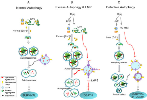 Summary diagram depicting zinc and mt3 effects on autop open i summary diagram depicting zinc and mt3 effects on autophagy and lysosomes a under physiological ccuart