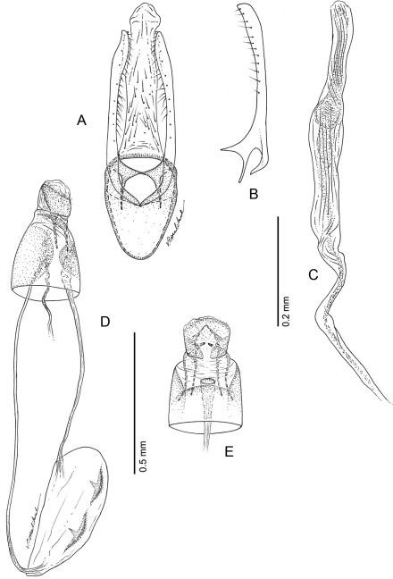 Phyllocnistis longipalpa sp. n. genitalia. A Male, ventral view B Mesal view of valva C Aedeagus D  Female, lateral view E Ventral view of D segments 7–10.