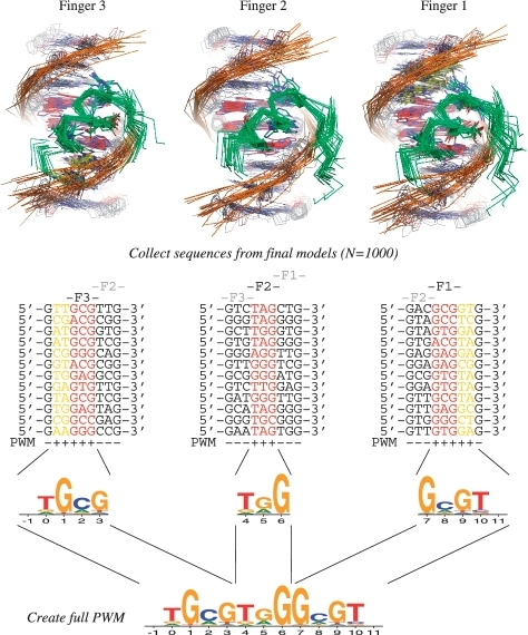 Binding specificity predictions. To generate a PFM for a poly-ZF protein, we perform binding simulations on individual ZF domains and combine the results into a single specificity profile. Simulation results for the 3-finger ZF protein Zif268 are shown. At the top, a subset of the final protein–DNA interface models are superimposed. Green ribbons are used to depict the protein, with key specificity determining sidechains shown; the DNA is portrayed in stick representation with a phosphate backbone ribbon. Carbons in the core triplet binding site are colored red. Carbons in neighboring bases that contribute to the final combined PFM are colored yellow. DNA sequence preferences calculated from the final models in 1000 independent simulations are used to construct single-finger PFMs (middle), which are combined into a binding profile for the complete protein (bottom). PFMs are depicted as sequence logos using the program WebLogo (42); structure images were generated with the PyMOL molecular graphics program.