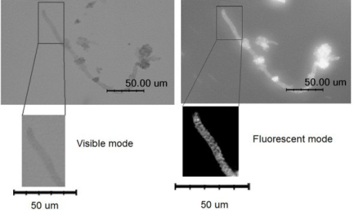 Visible and fluorescent microscopic images of hollow silica microcoils prepared using CTAB after soaking them in an aqueous solution of rhodamine B.