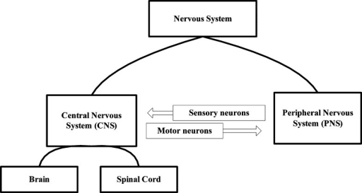 Schematic diagram ofthe nervous system (NS). The CNS is ...