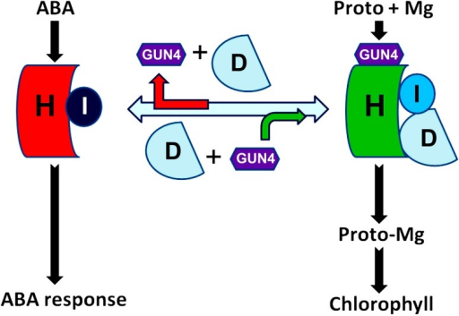 A model for distinction between CHLH- and CHLI-mediated ABA signaling and magnesium (Mg) chelating to protoporphyrin IX (Proto) catalyzed by a CHLH-CHLI-CHLD-GUN4 hetero-tetramer complex. See text for detailed explanation
