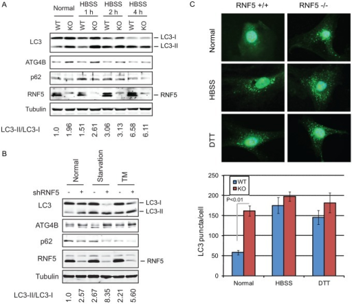RNF5 negatively regulates autophagy.(A) Immunoblot analysis of LC3 and p62. RNF5 WT and KO MEFs were maintained in HBSS for 1 to 4 h before cells were lysed, and proteins were resolved and analyzed by immunoblotting with the indicated antibodies. (B) Scrambled and shRNF5-transduced PC3 cells were maintained in normal medium, serum-starved overnight, or treated with tunicamycin (TM, 5 µg/ml, 8 h). (C) Amount of endogenous LC3 puncta is affected by RNF5. RNF5 WT and KO MEFs grown in normal medium, starved with HBSS (2 h), or treated with DTT (5 mM, 8 h) were fixed and immunostained with anti-LC3 antibody. Results show the quantification of endogenous LC3 puncta counted in >20 cells per experimental condition, in duplicate.