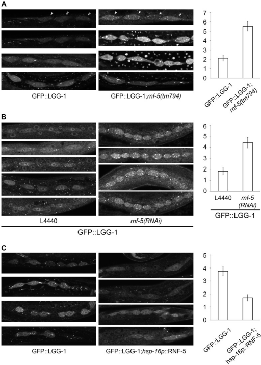 RNF-5 regulates autophagy in C. elegans.(A–C) Representative images of seam cells from L3 larvae expressing the GFP::LGG-1 transgene, and the average number of GFP::LGG-1 puncta in seam cells. Three to four independent experiments were performed for each condition. Error bars are ± SEM. P value was calculated using an unpaired two-tailed t-test. (A) rnf-5(tm794) larvae had an average of 5.53±0.49 puncta/cell compared to 2.11±0.30 puncta/cell in WT (36 cells from 9 rnf-5(tm794) larvae, and 46 cells from 10 WT larvae, p<0.0001). (B) rnf-5(RNAi)-treated worms had an average of 4.42±0.47 puncta/cell compared to 1.83±0.31 puncta/cell in control animals (77 cells from 15 rnf-5(RNAi) larvae and 64 cells from 17 control larvae, p<0.0001). (C) Animals grown constantly at 25°C: hsp-16p::rnf-5 larvae had an average of 1.71±0.24 puncta/cell compared to 3.75±0.34 puncta/cell in the non-transgenic population (69 cells from 18 hsp-16p::rnf-5 larvae, and 68 cells from 15 non-transgenic larvae, p<0.0001).