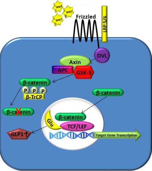 Wnt signaling pathway in diabetes mellitus.