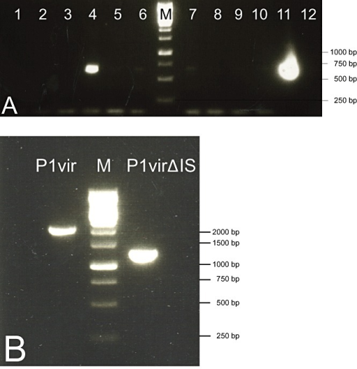 A. PCR screening, using primers P1D and P1test, of plaques obtained upon phage recombineering. Lanes 4 and 11 contain PCR products that indicate the presence of P1virΔIS within the plaques. B. PCR verification of the shortening of the IS‐deleted region in a pure P1virΔIS lysate using primers P1D and P1 BP. M: 1 kb DNA ladder (Fermentas).
