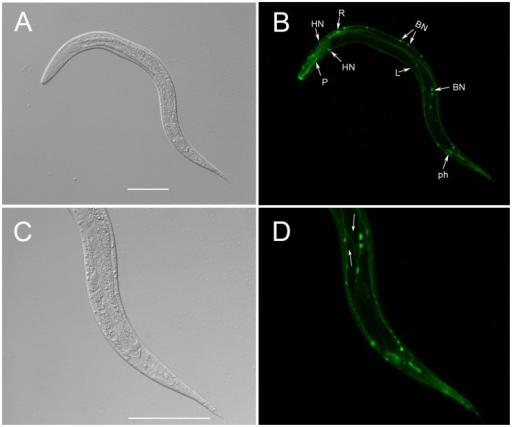 The spatial expression pattern of Ss-riok-1 in the post-free-living first-stage and second-stage larvae.DIC (A, C) and fluorescence (B, D) images of transgenic S. stercoralis post-free-living L1-L2 stage larvae expressing Ss-riok-1p::gfp::Ss-era-1t. (A, B) GFP expression in the pharynx (P), head neurons (HN), body neurons (BN) and tail phasmidial neurons (ph) and longitudinal nerve tracts (L), GFP expression is also observed in the neurons (R) with positional homology to neurons of C. elegans in retrovesicular ganglion (RVG). (C, D) GFP expression in the commissures between body neurons and longitudinal nerve tracts (arrow). Scale bars = 100 µm.