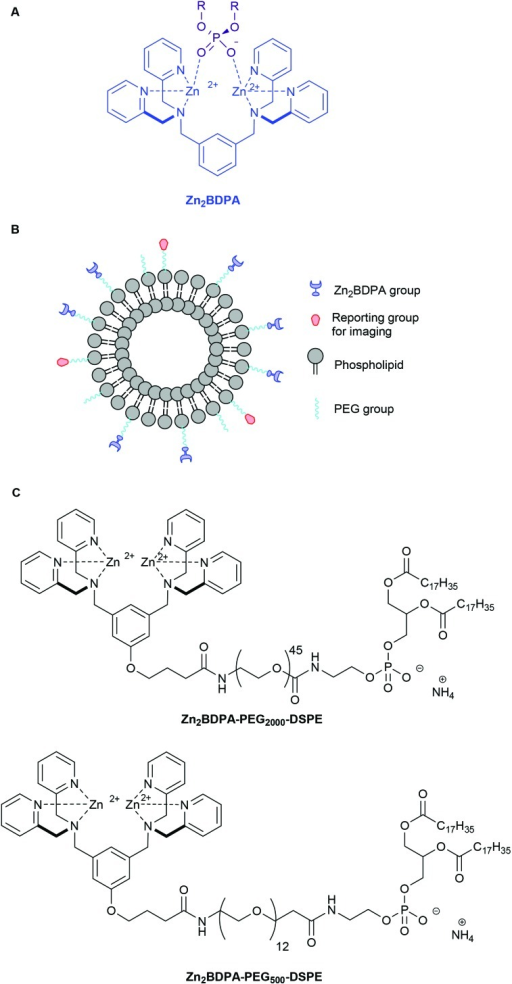 Association of a Zn2BDPA coordination complex with a phosphodiester (A), schematic picture of a Zn2BDPA coated liposome with PEG and Zn2BDPA groups on the inner leaflet omitted for clarity (B), structures of Zn2BDPA-lipid conjugates used in this study (C).