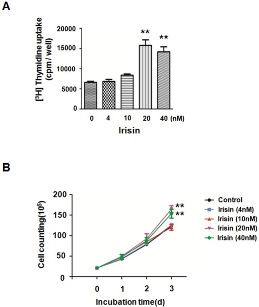 Irisin promoted HUVEC proliferation.(A) [3H] thymidine uptake in HUVECs that were cultured in M199 and treated with or without irisin at the indicated concentrations for 40 h. The data were expressed as the mean ± SE of three independent experiments,**p<0.01 vs. the untreated group. (B) Growth curves of HUVECs. HUVECs treated with or without irisin were constructed by plotting cell numbers that were counted using a hemocytometer over three days of incubation. ** p<0.01 vs. untreated, the data were expressed as the mean±SE of three independent experiments.