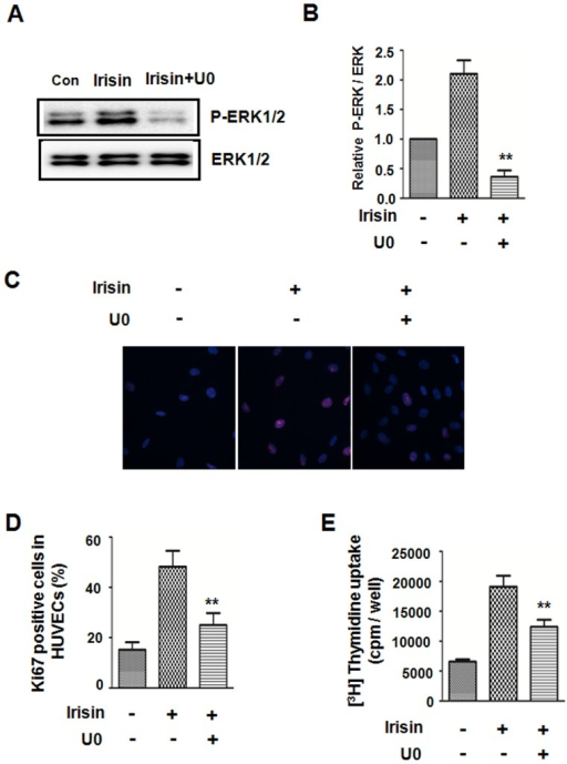 ERK inhibitor attenuated the irisin-induced HUVEC proliferation.HUVECs were pretreated with the ERK inhibitor U0126 for 30 min followed by irisin treatment. (A) Western blots analyzed phosphorylated and total ERK proteinexpression. (B) Densitometric analysis of the related bands was expressed as the relative optical band density, which was corrected using respective total proteins as a loading control and normalized against the untreated control. The data were expressed as the mean ± SE of three independent experiments,**p<0.01 vs. untreated group. The effect of the ERK inhibitor on irisin-induced HUVECproliferation was analyzed by Ki67 staining (C, D) and [3H] thymidine uptake (E). The data were expressed as the mean ± SE of three independent experiments, **p<0.01 vs. the irisin-treated group.