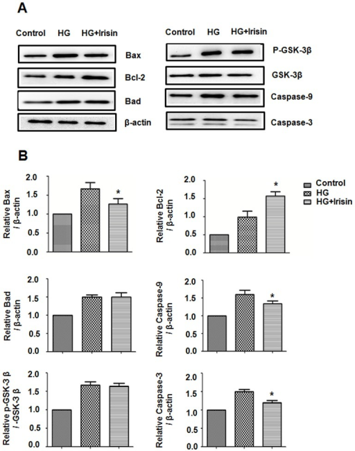 Irisin mediates Bax,Bcl-2,GSK-3β, Caspase-9 and Caspase-3 protein levels in HUVECs.HUVECs were cultured with or without irisin (20 nM) for 24 h. Bax, Bcl-2, Bad, GSK-3β, Caspase-9 and Caspase-3 in cell lysates were analyzed by Western blot. (B) Densitometric analysis of the related bands was expressed as the relative optical band density and was corrected using respective total proteins as loading controls and normalized against the untreated control. The data were expressed as the mean ± SE of three independent experiments, *p<0.05 vs. the high glucose-treated group.