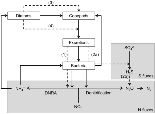 Summary of the assumed interactions to explain the observed differences in N2O production rates.The assumed interactions which affect denitrification are indicated with dashed arrows. Bacteria mediated relevant reduction reactions of the nitrogen pathway and sulfur pathway are enclosed by grey boxes indicated with respectively 'N fluxes' and 'S fluxes'. Copepods feed on both diatoms and bacteria, and produce excretion producs (excretions). Bacteria feed on the excretion produces and are also responsible for the reduction of SO42- to H2S and of NO3- to NH4+ (DNRA) and N2O+N2 (denitrification) in the microcosm. The produced NH4+ is assimilated by both bacteria and diatoms. Copepods affect the N2O production rate by producing excretion products which provide an extra carbon source, of which mainly the DNRA bacteria can take advantage (1) and also enhances SO42- reduction (2a), which results in more H2S. The increased H2S inhibits denitrification (2b). Diatoms have no direct effect on the N2O production rate, but do have an indirect effect by enhancing the survival of the copepods (3) and influencing the quantity and composition of the copepods' excretion products (4).