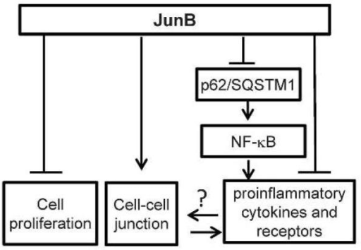 Working modelJunB-suppression of inflammation. JunB regulates epidermal cell proliferation, cell adhesion and inflammation through direct and indirect target genes. In particular, JunB-hypofunction leads to increased expression of SQSTM1 and consequently NF-κB-dependent expression of multiple inflammatory cytokines.