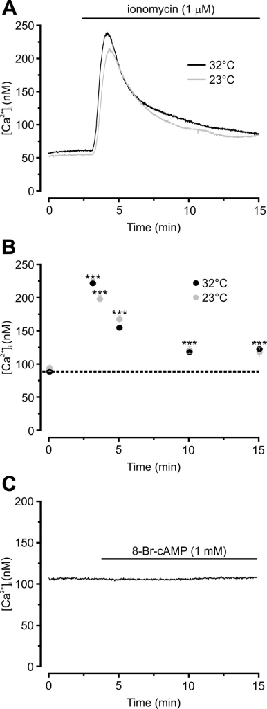 Ionomycin, but not 8-Br-cAMP, elevates adipocyte [Ca2+]i.Example traces of [Ca2+]i responses upon extracellular application of 1 μM ionomycin (A) or 1 mM 8-Br-cAMP (C). B Average responses to ionomycin at indicated time points between 0 and 15 min. Ionomycin or 8-Br-cAMP was added extracellularly to the dish of cells and remained present throughout the recording as indicated. Note that the peak response to ionomycin shown in (B) was slightly shifted at 23°C (peak at 3.6 min; 5 separate experiments and 122 cells) compared to 32°C (peak at 3.1 min; 4 experiments and 107 cells). The trace in (C) is representative for 101 analysed cells in 4 separate experiments.