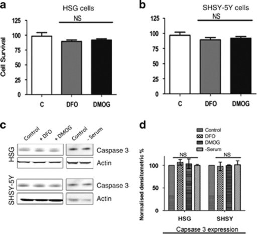 DMOG and DFO treatment effects on the cell viability or apoptosis in the cells. (a) Bar diagram showing the cell viability assay (MTT assay) in the HSG cells and (b) SHSY-5Y cells pretreated with 1 mM of both DFO and DMOG. Each bar gives the mean±S.E.M. of four separate experiments. NS indicates no significance. (c) Western blot images showing the expression of caspase 3 in SHSY-5Y and HSG cells pretreated with 1 mM DMOG and 1 mM DFO or in serum-free media for 24 h. (d) Bar diagram representing the densitometric reading of the caspase 3 expression in the above-mentioned western blots. Each bar gives the mean±S.E.M. of four separate experiments. NS indicates no significance
