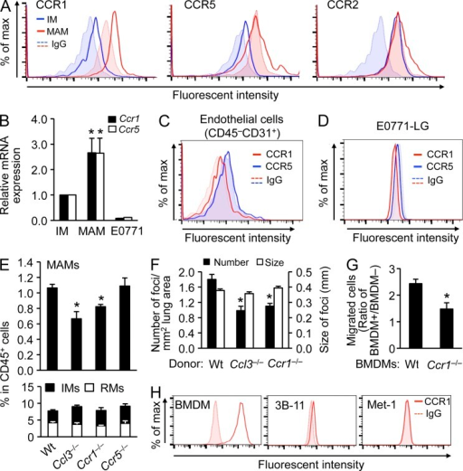 The CCL3–CCR1 axis is required for accumulation of MAMs and after extravasation of cancer cells. (A) Levels of chemokine receptors were assessed by flow cytometry in circulating inflammatory monocytes (IMs) and lung MAMs, as indicated. Cells were isolated from WT mice 24 h after E0771-LG tumor cell injection (n = 3). Dotted lines and shaded areas show control isotype matched IgG for each cell type. Representative histograms from three independent experiments are shown. (B) Levels of Ccr1 and Ccr5 mRNA were assessed in IMs, MAMs, and E0771-LG cancer cells. Cells were isolated from WT mice 24 h after E0771-LG tumor cell injection (n = 4). Data are means ± SEM. *, P < 0.05 versus IM. (C) Levels of chemokine receptors were assessed in CD45−CD31+ endothelial cells from the tumor cell–challenged lung. Cells were isolated from WT mice 24 h after E0771-LG tumor cell injection (n = 3). Dotted lines and shaded area show control isotype matched IgG for each receptor. A representative histogram from two independent experiments is shown. (D) Levels of chemokine receptors on cultured E0771-LG tumor cells were assessed by flow cytometry. Dotted lines and shaded areas show control isotype matched IgG for each receptor. A representative histogram from two independent experiments is shown (n = 2). (E) Relative numbers of lung CD11b+ macrophages (top) and circulating CD11b+CD115+ monocytes (bottom) were assessed by flow cytometry in C57BL/6 (WT; n = 14), Ccl3−/− (n = 4), Ccr1−/− (n = 7), and Ccr5−/− (n = 7) mice challenged with E0771-LG cells 24 h before measurement (at least two independent experiments/genotype). Data are means ± SEM. *, P < 0.05 versus WT. (F) Number and size of lung foci were assessed in mice transplanted with BM cells from C57BL/6 (WT, n = 14), Ccl3−/− (n = 11), or Ccr1−/− (n = 9) mice. Mice were injected with E0771-LG cells (two independent experiments). Data are means ± SEM. *, P < 0.01. (G) Number of transmigrated E0771-LG cells was measured in the transendothelial migration assay in the presence of BMDMs from C57BL/6 or Ccr1−/− mice (n = 6, three independent experiments). Mean cell number in each insert was determined by the counts from five fields. Data are means ± SEM. *, P < 0.01. (H) CCR1 protein expression was assessed by flow cytometry in BMDMs, 3B-11 endothlial cells, and Met-1 tumor cells. A representative histogram from two independent experiments is shown (n = 2).