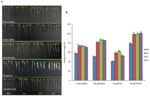 Expression of Os08g01480 in Arabidopsis confers tolerance for HMs. Seeds of WT (Col-0) and transgenic lines (L1, L2 and L3) were germinated vertically for 11 d on ½ MS medium supplemented with 5 μM As(III), 100 μM As(V), 50 μM Cd and 50 μM Cr(VI).(A) Phenotypic changes of WT and transgenic lines grown in different HMs. (B) Relative Root length of the WT and transgenic plants during stress conditions in comparison to WT and transgenic plants grown in non treated media. All values are the mean of triplicates (±SD) Values marked with similar letters are not significantly (Duncan's test: p<0.05) different.