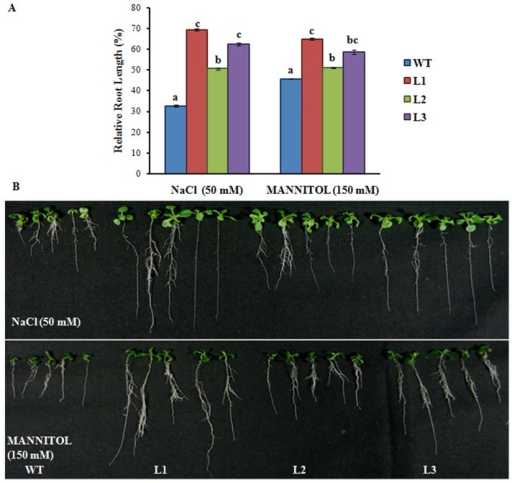 Expression of Os08g01480 in Arabidopsis confers tolerance for salt and osmotic stress.(A) Relative root length of the WT (Col-0) and transgenic plants after vertical growth of 11 d on ½ MS media plates supplemented with NaCl and Mannitol in comparison to WT and transgenic lines grown in non treated media. All values are the mean of triplicates (±SD) Values marked with similar letters are not significantly (Duncan's test: p<0.05) different. (B) Phenotypic changes of WT and transgenic lines grown in ½ MS medium supplemented with NaCl and Mannitol.