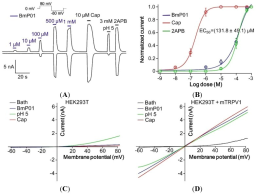 BmP01 activated TRPV1 channel. (A) Application of BmP01 at the concentrations of 1 µM, 10 µM, 100 µM, 500 µM and 1 mM showed the increasing activity with higher concentration to activate TRPV1 currents. Along with Capsaicin, proton and 2APB, 500 µM of BmP01 completely activates the TRPV1 channel; (B) Concentration—response yielded an EC50 of 131.8 ± 49.1 µM BmP01 (n = 10); (C) In HEK293T cells, negative for TRPV1 channel, BmP01 and capsaicin did not evoke the currents, whereas only proton induced some currents; (D) In contrast, BmP01 and capsaicin evoked the currents in HEK293T cells with over-expressed TRPV1 channels.