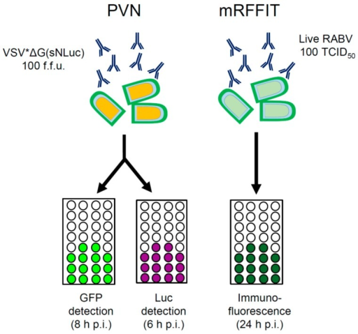 Performance of the PVN compared to the modified RFFIT. The PVN test makes use of propagation-incompetent pseudotype particles that express two reporter proteins, GFP and luciferase. The modified RFFIT makes use of live RABV and requires high biosafety standards. The different read-outs and time requirements of the assays are indicated. TCID50: median tissue culture infective dose.