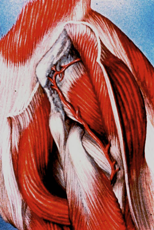 hip joint; pectineus muscle; rectus femoris muscle; iliopsoas muscle; femoral circumflex artery