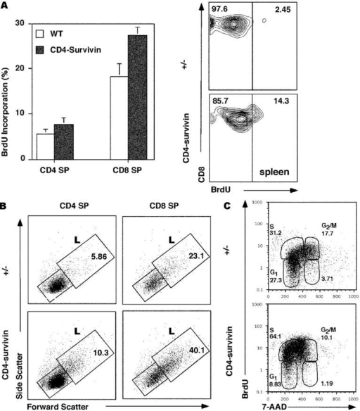 BrdU incorporation study of CD4-survivin–deficient mice. (A) BrdU labeling of SP thymocytes and peripheral T cells from CD4-survivin mice and their littermate (+/−) controls. Mice were injected intraperitoneally with BrdU and 3 h later flow cytometric analyses were conducted for the respective T cell populations: CD4 or CD8 SP thymocytes and spleen CD8+ cells. (B) Side and forward scatter analysis of CD4 or CD8 SP thymocytes from CD4-survivin and littermate (+/−) controls. The percentages of the large (L) cells are indicated. (C) Mice were injected with BrdU every 6 h in a 25-h period before their thymocytes were harvested and stained with either anti-CD4 or anti-CD8 antibodies followed by anti-BrdU antibodies and 7-AAD. The BrdU versus 7-AAD profiles of CD4− gated thymocytes, which include CD8+ CD4− SP and DN cells, are shown. Similar findings were also observed for CD8− gated thymocytes.
