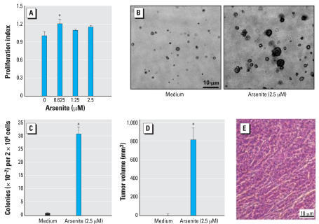 "Induction of cell transformation by arsenite in human keratinocyte HaCat. (A) HaCat cells were exposed to various doses of arsenite for 5 days. The proliferation of the cells was measured using CellTiter-Glo Luminescent Cell Viability Assay kit with a luminometer. (B,C) HaCat cells were then repeatedly exposed to 2.5 μM arsenite twice a week for a total of 8 weeks as described in ""Materials and Methods."" (D) 2 × 106 of above cells were injected sc into each spot of 5-week-old female nude mice. Four weeks after the inoculation, the tumor dimensions were measured using calipers and tumor volume (mm3) was calculated. The data shown are from six tumors in three mice for each group. (E) Paraffin-embedded tumor xenografts were sectioned (4 μm) and subjected to H&E staining.*Significant increase compared with that of medium control (p < 0.05)."